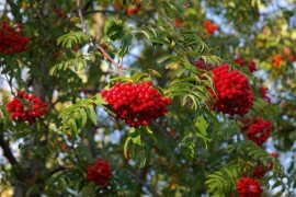 Mountain Ash Diseases