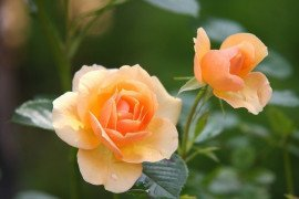Rose Diseases (Outdoors)