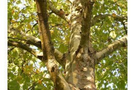 Sycamore Diseases