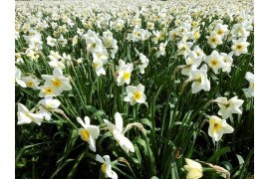 Narcissus Diseases