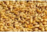 Vomitoxin Levels and Testing in Wheat