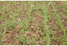 Weed Control in Wheat and Herbicide Carrier Selection