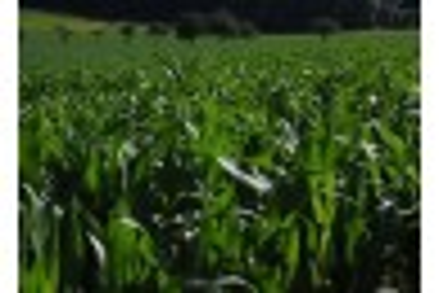 Comparison of Twin and Single Row No-Till Corn Planted for Grain