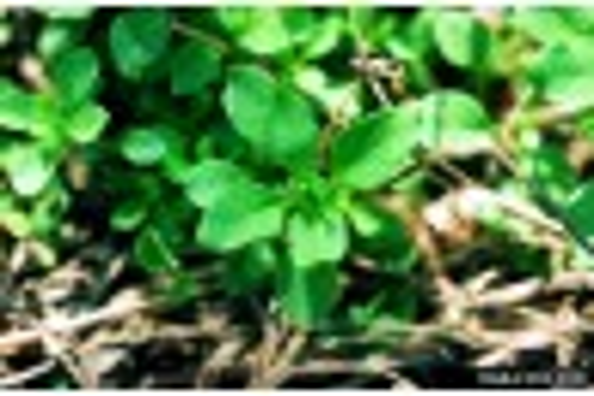 Strawberry Weed Control - Early Season