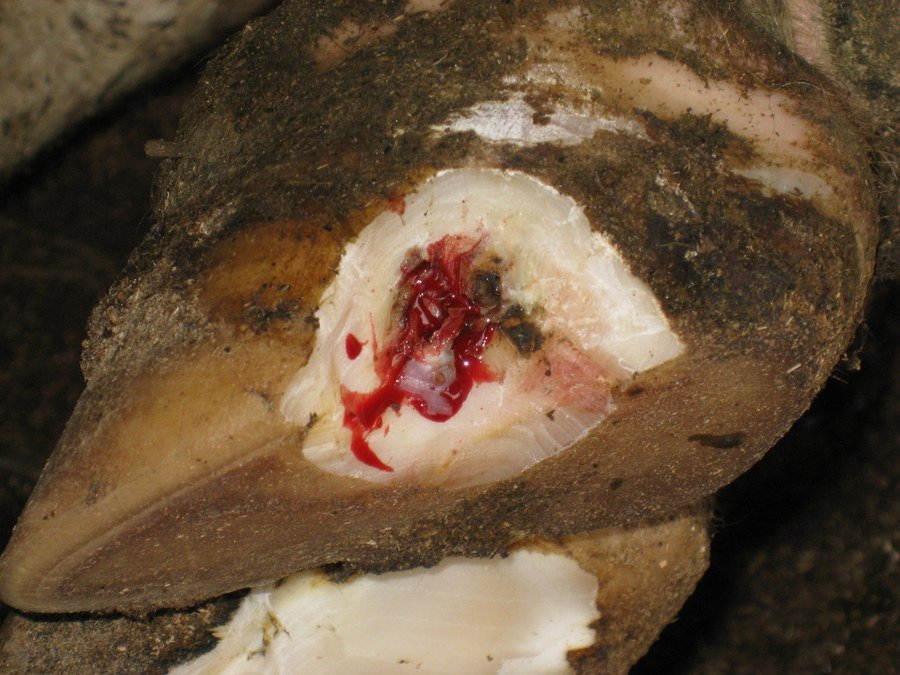 An ascending infection in the white line is being cleaned out in order to remove infected/unhealthy tissue so that healing can begin. More trimming remains to be done. Note that a block has not yet been placed on the opposite claw.