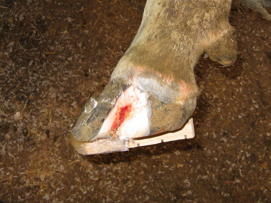 This white line infection has been trimmed back to the point where all of the unhealthy/infected tissue has been removed. The red tissue seen in the image is health corium, which can now produce new tissue to cover the defect. Note that a block has been placed on the opposite claw to remove the weight from the affected claw, thereby promoting healing.