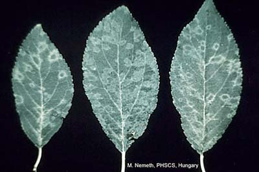 Photo acknowledgements: L. Levy, USDA-APHIS