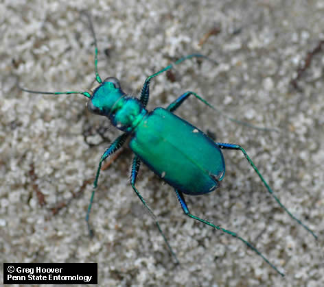 "An adult sixspotted tiger beetle, Cicindela sexguttata, is about 12 mm (1/2"") long. It is common along forest paths in Pennsylvania."