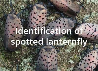 Identification of spotted lanternfly.