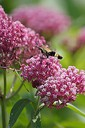 Asclepias incarnata with a hummingbird moth