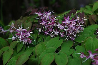Epimedium 'Purple Pixie'