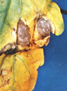 "Photo caption: Yellowing of lower leaves with brown "" halo target"" marking from Early Blight. [USDA]"