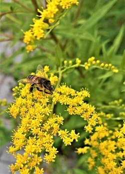 Goldenrod (Solidago) offers a late-season nectar source