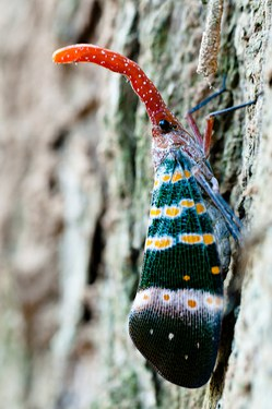 Spotted Lanternfly Courtesy Penn State Live
