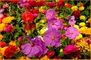 Cosmos, Marigolds and Zinnias - Photo Courtesy Penn State Live