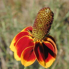 Mexican hat plant