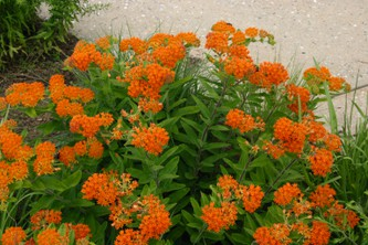 Asclepias tuberosa, or Butterfly Weed, is a wonder plant to attract pollinators.