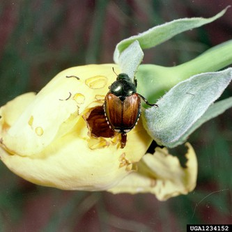 Japanese beetles eating roses Photo: