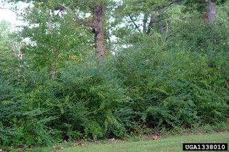 Privet eliminates the forest understory. Photo: Nava Tabak, Invasive Plant Atlas of New England, Bugwood.org